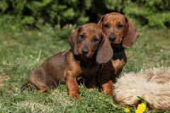 Adorable Dachshund puppy sitting in the garden Royalty Free Stock Images