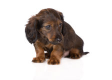 Adorable dachshund  puppy Royalty Free Stock Image