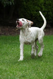 Adorable dalmatian puppy running in the garden Stock Photos