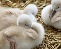Adorable 5 day old baby Mute swans nestled together cozy and content Royalty Free Stock Images