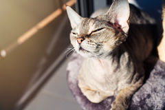 Adorable Devon Rex cat is sitting on the scratching post after having activity. Cat loves to spending time sitting on scratching post with lounge space. Multi Royalty Free Stock Photography