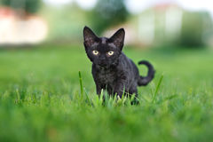 Adorable devon rex kitten posing outdoors Stock Image