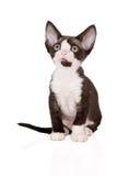 Adorable devon rex kitten on white Stock Photo