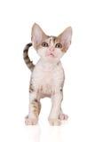 Adorable devon rex kitten on white Stock Images