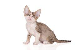Adorable devon rex kitten on white Royalty Free Stock Image