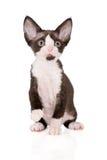Adorable devon rex kitten on white Royalty Free Stock Photo