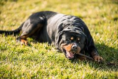 Adorable Devoted Purebred Rottweiler. Laying on Grass stock images