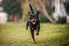 Adorable Devoted Purebred Rottweiler. Running Royalty Free Stock Image