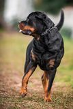 Adorable Devoted Purebred Rottweiler. Full body shot standing on green grass Royalty Free Stock Photo