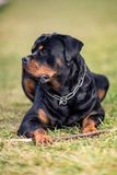 Adorable Devoted Purebred Rottweiler. Laying on Grass stock photos