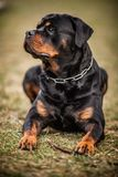 Adorable Devoted Purebred Rottweiler. Laying on the Grass, Close up stock images