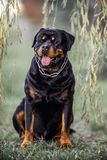 Adorable Devoted Purebred Rottweiler. Sitting on Grass royalty free stock photos