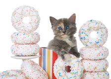 Close up kitten in birthday present box surrounded by donuts. Adorable diluted tortie kitten sitting in a colorful birthday present box surrounded by white stock photo