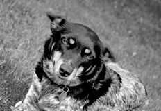 Adorable dog in black and white Stock Image