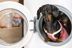 Adorable dog breed of dachshund, black and tan, looking from washing machine. Laundry and dry cleaning pet service. Funny ad for y royalty free stock image