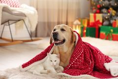 Adorable dog and cat together under blanket at room decorated for Christmas
