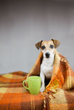 Adorable dog Jack Russell terrier and cup of tea Royalty Free Stock Images