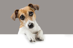 Adorable dog Jack Russell terrier Royalty Free Stock Photography