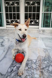Adorable dog keeping a red ball Royalty Free Stock Image