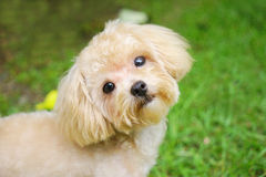 Adorable dog. She is  between a Maltese and a Poodle Royalty Free Stock Photography