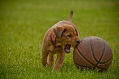 Adorable dog playing with a basketball on a grassy field