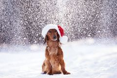 Adorable dog posing in a santa hat in winter while it snows. Adorable dog posing in a santa hat in winter royalty free stock images
