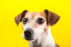 Adorable dog pup portrait on yellow background. Lovely pet face with beautiful eyes. Pet theme royalty free stock photos