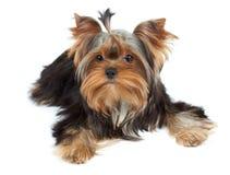 Adorable dog Royalty Free Stock Photos
