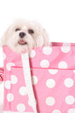 Adorable dog in purse Royalty Free Stock Image