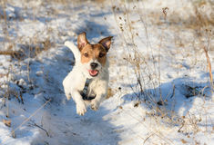 Adorable dog running by winter path. Jack Russell Terrier playing at winter field Royalty Free Stock Images