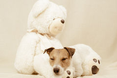 Adorable dog sleeps on cute teddy bear. Jack Russell Terrier having rest on a toy Royalty Free Stock Images