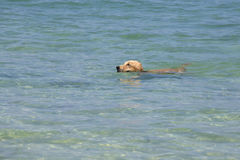 Dog swimming in the sea Royalty Free Stock Photo