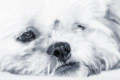 Adorable dog thinking, artistic toned photo Stock Images