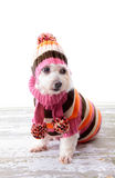 Adorable dog wearing winter sweater. Adorable little dog wearing a striped turtleneck knitted sweater, matching scarf with pom poms and beanie to keep warm stock photography