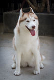 Adorable Dog!. White brown adorable husky siberian dog stock photos