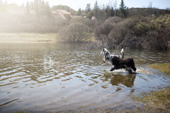 Adorable dogs enjoy running and bathing Stock Photography