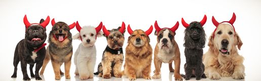 8 adorable dogs posing together for halloween royalty free stock images