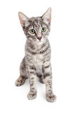 Adorable Domestic Shorthair Four Month Old Kitten Sitting Stock Photography