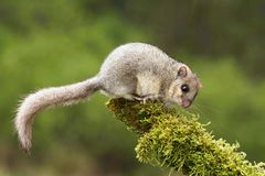 Adorable dormouse. Adorable hairy dormouse on branch Stock Photos