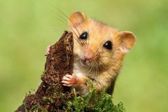Adorable dormouse. Little cute foxy dormouse in wildlife Stock Photos