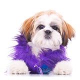 Adorable dressed shih tzu puppy Stock Image