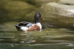 Adorable Little Duck Swimming in a Pond. Adorable Duck Cooling off in the Water Stock Images