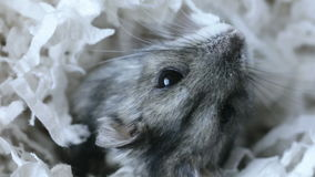 Adorable Dwarf Hamster stock video footage
