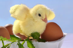 adorable easter baby chick Royalty Free Stock Images