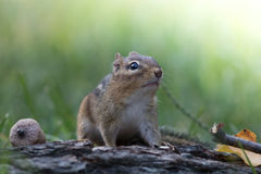 Adorable Eastern Chipmunk looks up in a soft woodland autumn scene Royalty Free Stock Image