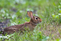 Adorable Eastern Cottontail is in a defensive stance among grass Royalty Free Stock Photography