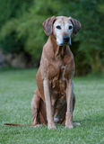 Adorable elderly Rhodesian Ridgeback dog Stock Photography