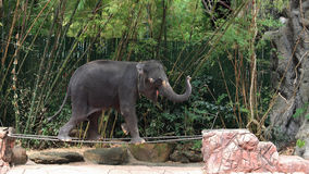 Adorable elephant walking on steel bar Stock Photos