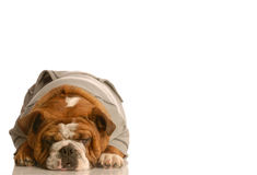 Adorable english bulldog Stock Images