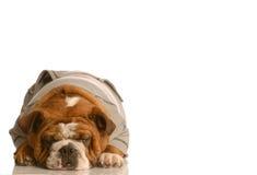 Adorable english bulldog Stock Images
